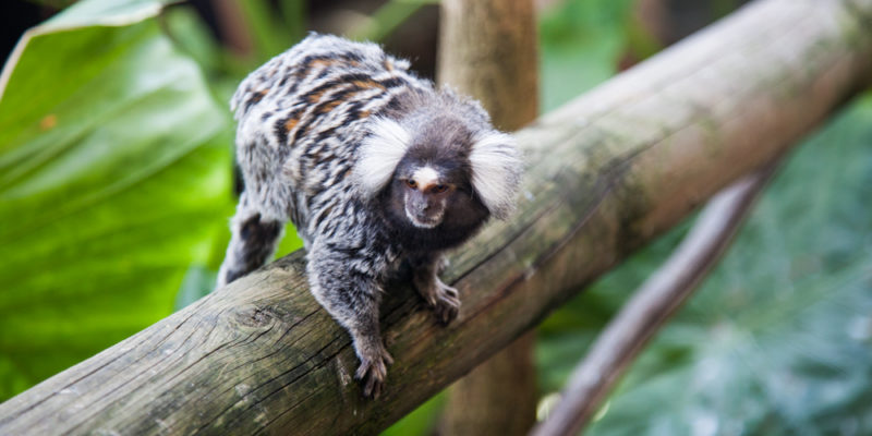 The Cango Wildlife Ranch: Marmoset Playing On branch