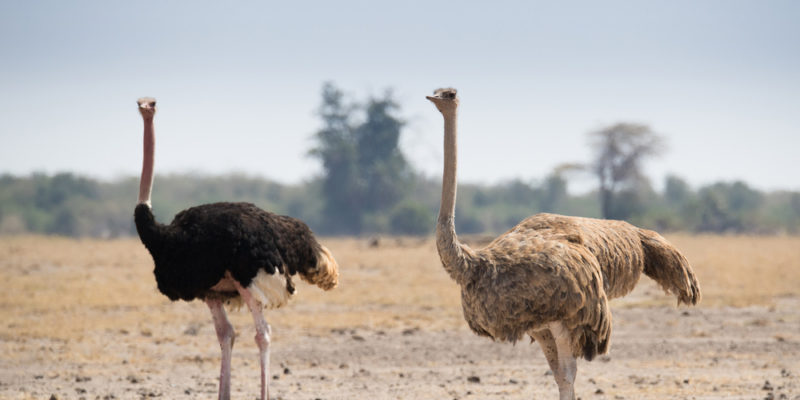Ostrich Farm Tours: Male And Female Ostrich Standing